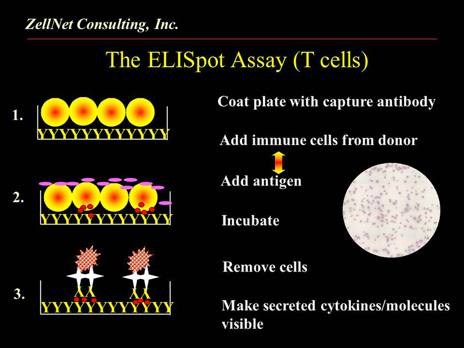 elispot assay pdf